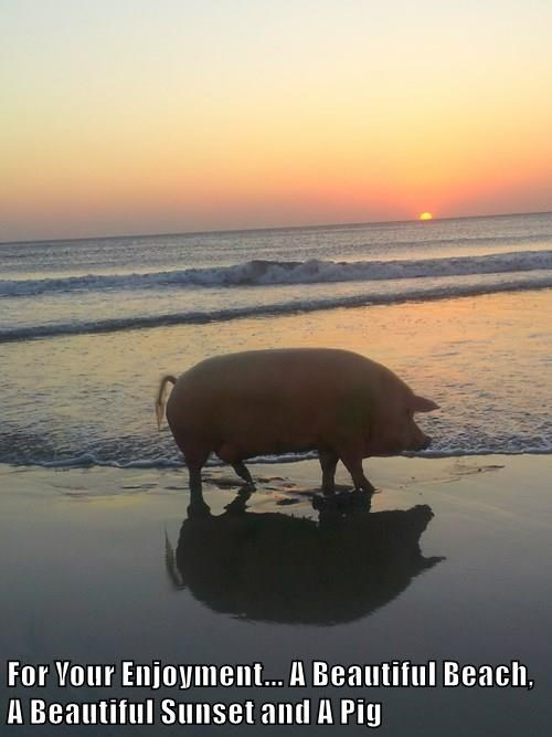 For Your Enjoyment... A Beautiful Beach, A Beautiful Sunset and A Pig