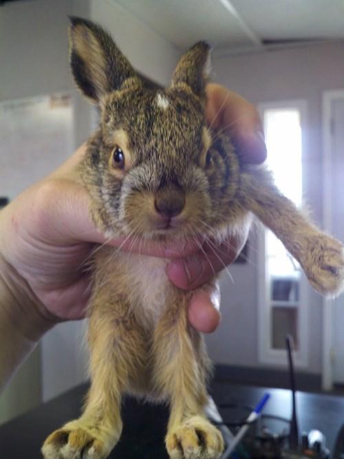 cute rabbit image Unhand Me, Human.