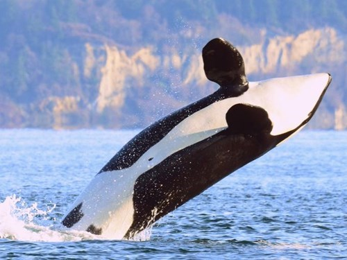 weird whale news The Oldest Known Killer Whale May Get to Use Her Years of Wisdom in Her Role As Honorary Mayor