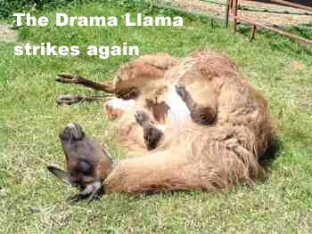Drama Llama Strikes Again