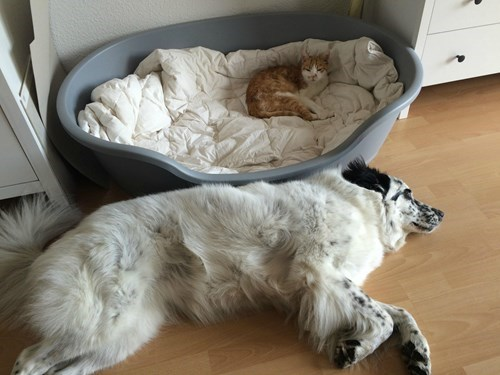 funny cats dogs I Guess I'll Sleep on the Floor Then...