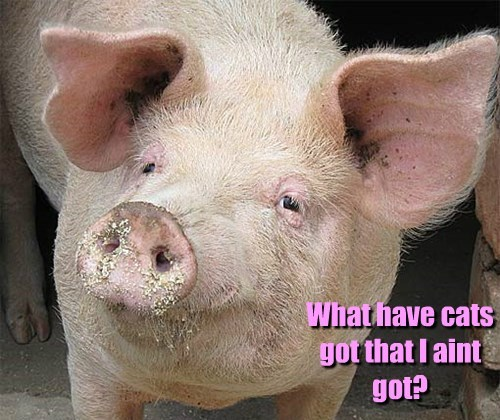 pig,captions,funny