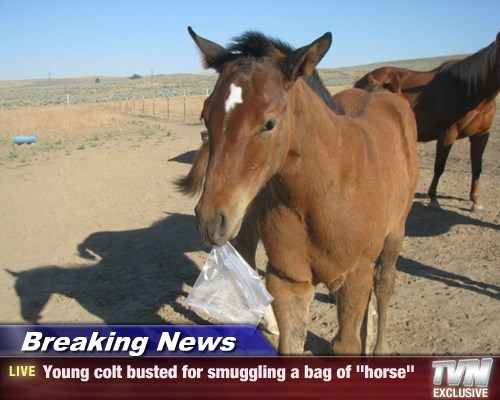 "Breaking News - Young colt busted for smuggling a bag of ""horse"""