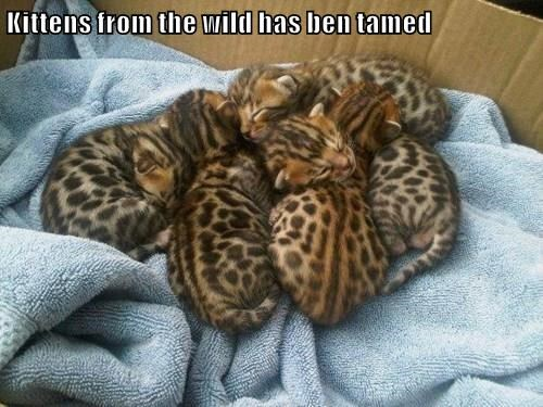 Kittens from the wild has ben tamed