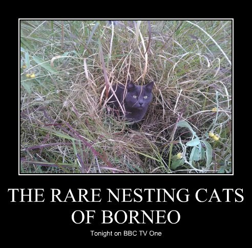 THE RARE NESTING CATS OF BORNEO