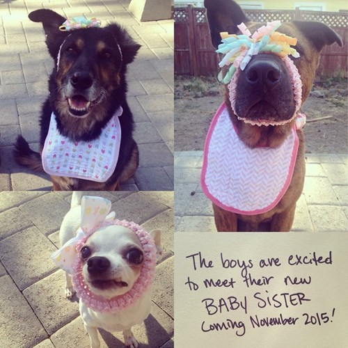 funny dogs image At Least One of These Dogs Doesn't Look Pleased at This Announcement