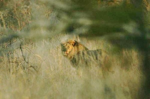 Jerico (Photo taken today, and taking care of Cecil's cubs)