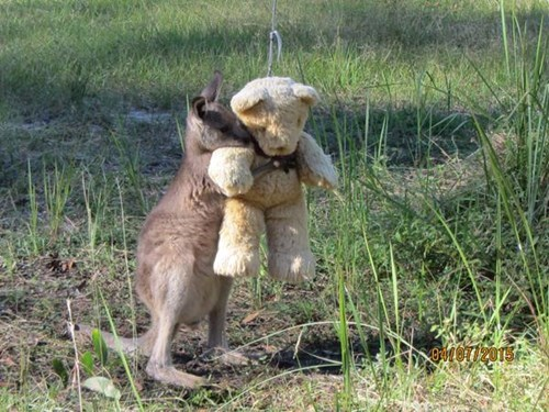 cute wallaby image Everyone Should Have an Emergency Teddy to Hug Just Like This Adorable Wallaby