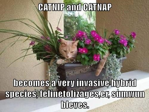 CATNIP and CATNAP  becomes a very invasive hybrid species, felinetolizages,er, sumwun bleves.