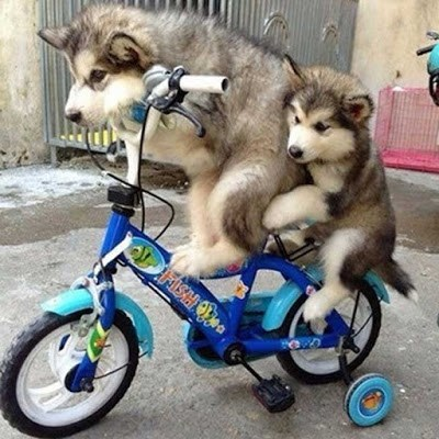 funny dogs image They Really Should Have Rented a Tandem Bicycle