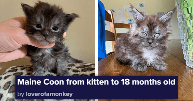 Thread: The Tiny-To-Huge Growing Process Of A Maine Coon Kitten