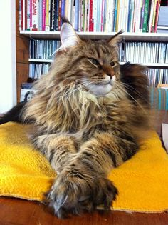 5 Interesting Facts Of Maine Coons That Will Make You Say    I Want