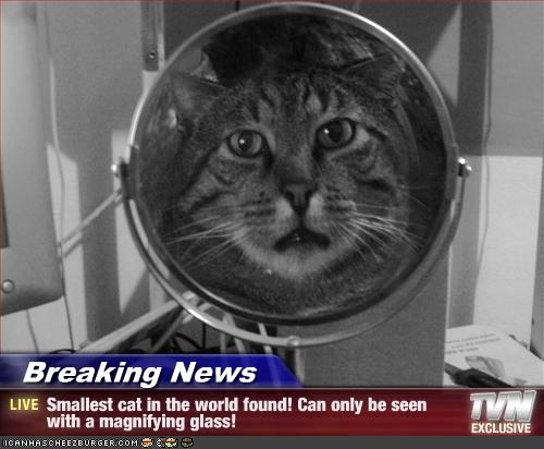 Breaking News - Smallest cat in the world found! Can only ...