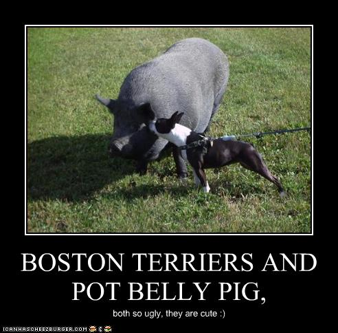 Boston Terriers And Pot Belly Pig Cheezburger Funny