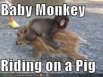Baby Monkey Riding On A Pig Cheezburger Funny Memes