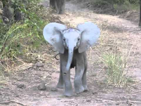 This Brave Little Elephant Charges Some Tourists in the Cutest Way!