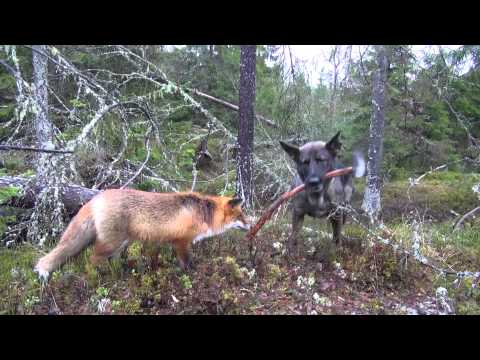 Sniffer and Tinni are a Real Life Fox and the Hound