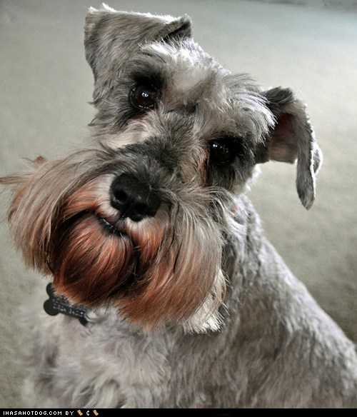 I Has A Hotdog - miniature schnauzer - Funny Dog Pictures ...
