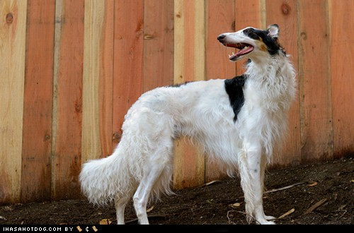 hotdog borzoi funny dog pictures dog memes puppy pictures pictures  dogs