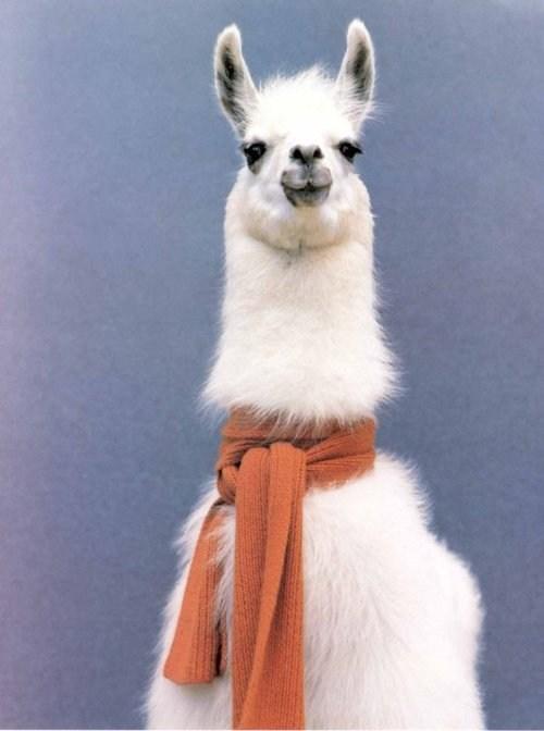 Fancy Llama - Daily Squee - Cute Animals - Cute Baby Animals - Cute Animal Pictures - Animal