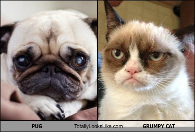 Pug Totally Looks Like Grumpy Cat Cheezburger Funny