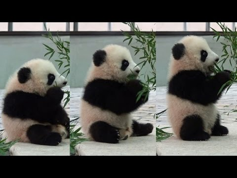 Watch This Adorable Baby Panda Figure Out What Eating Bamboo is All About - I Can Has Cheezburger?