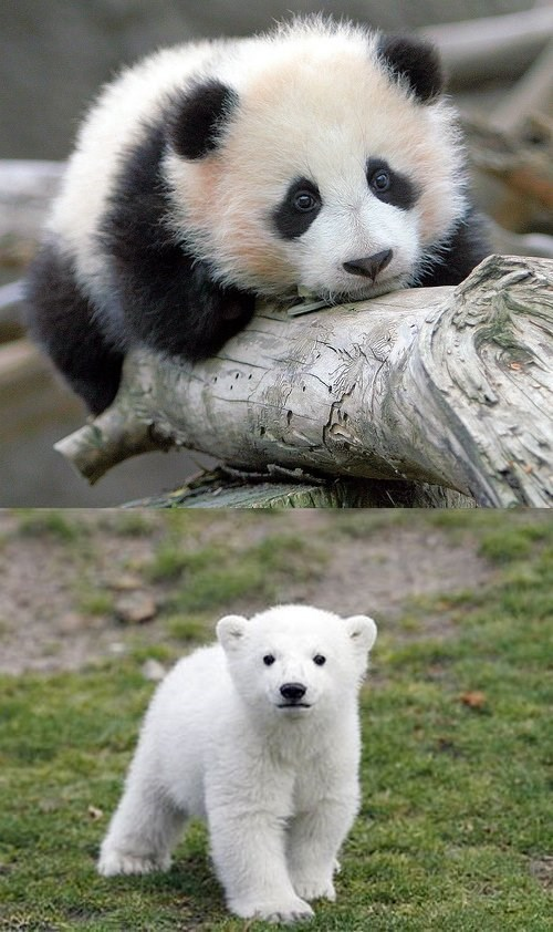 Squee Spree Panda Bear vs Polar Bear Daily Squee