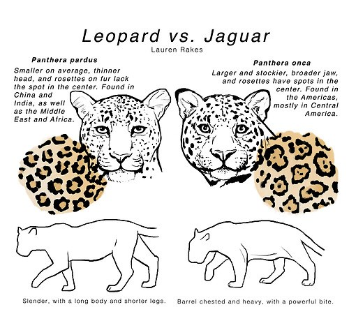 leopard vs jaguar know you know the difference school. Black Bedroom Furniture Sets. Home Design Ideas