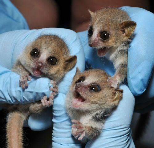 Three Smily Mouse Lemurs