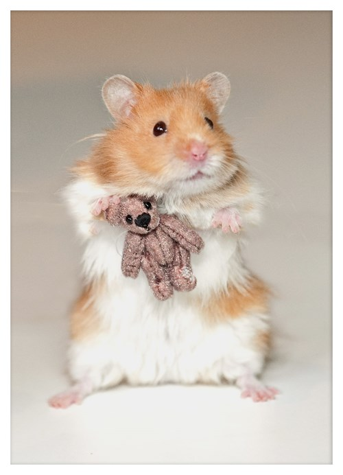 Benji, the Hamster, Snuggling With his Teddy Bear! - Daily ...