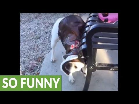 Jealous Shiba Inu Tries To Steal A French Bulldog S Fancy