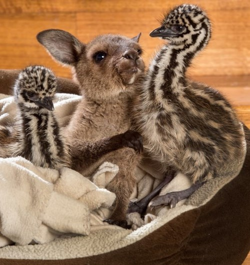Baby Emus and a Baby Kangaroo Coexist in One Happy ...