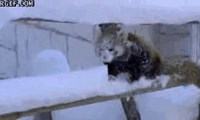 Red Pandas Have No Fear of The Cold Snow For It Reminds Them Only of The Coldness of Their Hearts