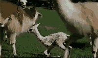 First Llamas Must Learn to Walk