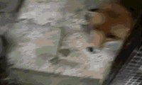 This may Be The Happiest Fox of All Time