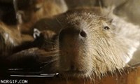 Be Sure That You Do All This While Being as Chill as This Capybara