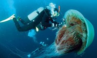 The Lion Jellyfish Is Monstrous