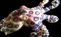 The Blue-Ringed Octopus Will Leave You Paralyzed