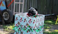 This Pug is Literally in The Christmas Present