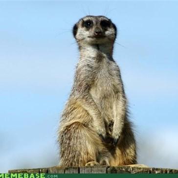 Unconvinced Meerkat