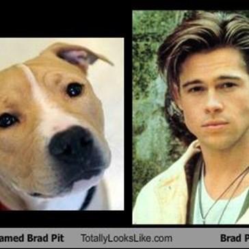 Pit Bull named Brad Pit Totally Looks Like Brad Pitt