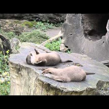 And Now an Otter Playing with a Rock