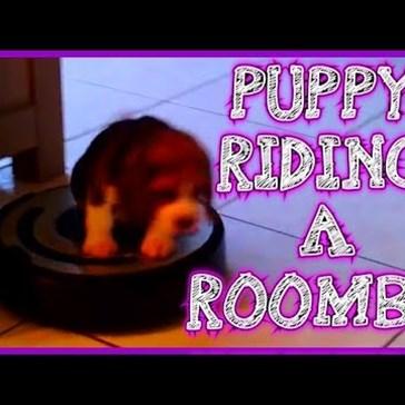 Beagle Puppy Defeats the Mighty Roomba
