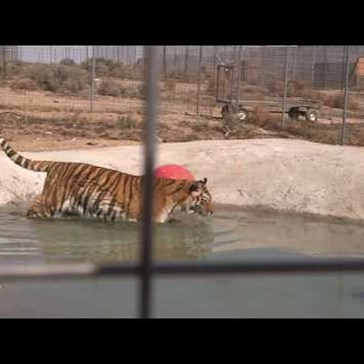 Watch These Rescued Tigers Enjoy Their First Swim