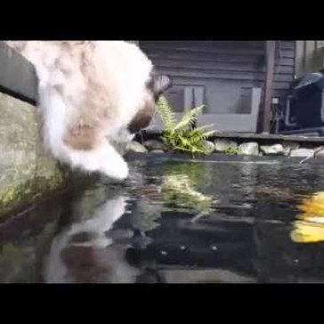Cat Sees a Tasty Koi Fish but She Just Wants to Be Friends