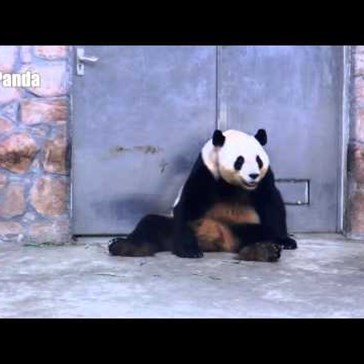 Behold, The Most Satisfying Panda Back Scratches Ever