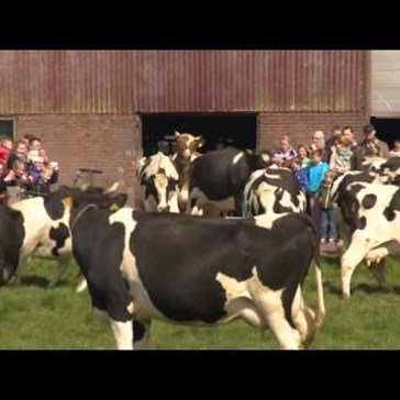 Watch These Happy Cows Celebrate Getting to Go Outside After a Cold Winter Spent in the Barn