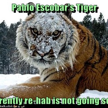 Pablo Escobar's Tiger  apparently re-hab is not going so well