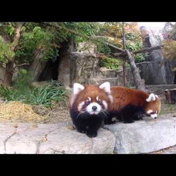 Watch Adorable Red Panda Cubs Explore the World Around Them