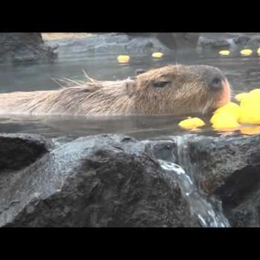 Watch Capybaras Celebrate the Coming of Winter by Luxuriating in a Hot Spring Bath